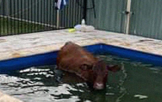 spasli kravu iz bazena