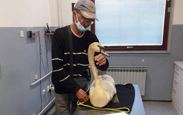 povređen labud treba pomoć
