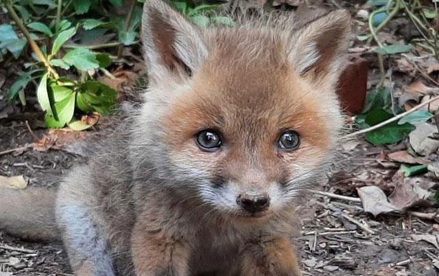 pronađena beba lisice