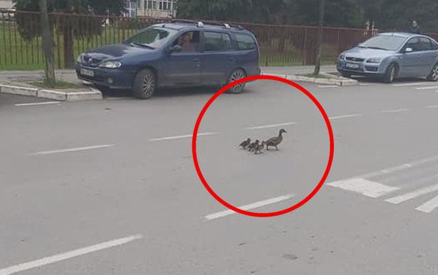 Kulturno propustili pačju porodicu na ulici.