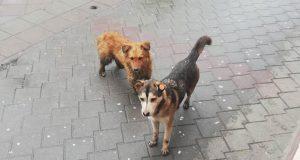 Vrbas ulični psi