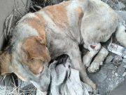pas zaspao na šinama