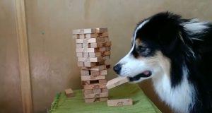 Ovaj pas je pravi igrač