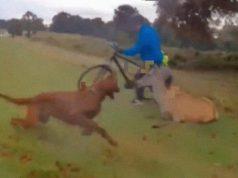 stravičan napad psa na jelena