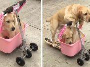 vozi mlađeg prijatelja u kolicima