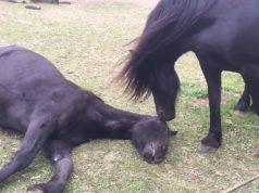 konji se opraštaju od prijatelja