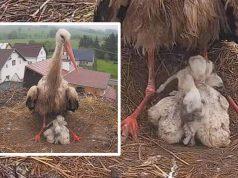 Tata roda brine o bebama
