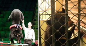 Spaseni medvedi iz cirkusa