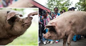 Umrla svinja