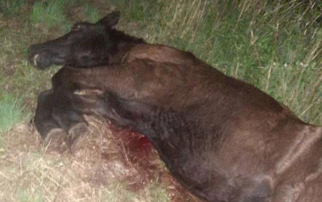 Pronađen povređen konj
