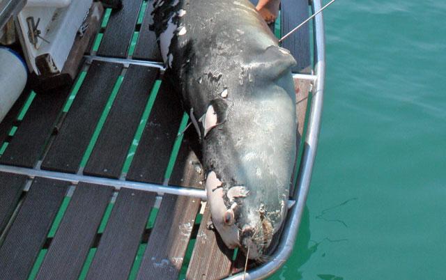 Ubijena foka u Grčkoj