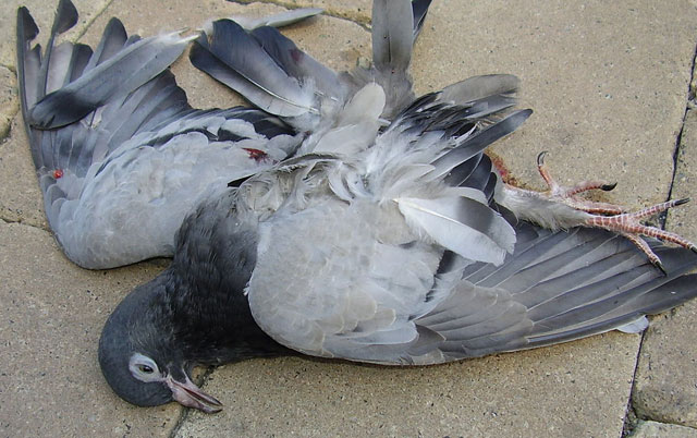 Dečak ubija golubove