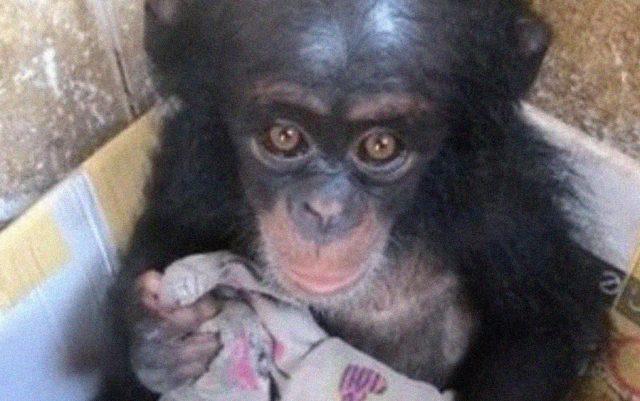 spasena beba šimpanze