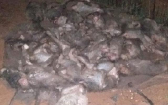 ubijeno 30 majmuna