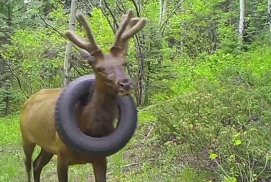 jelen oslobođen automobilske gume