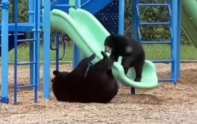 Medvedi na toboganu